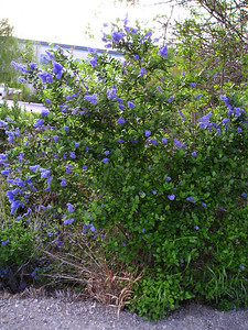 """This ceanothus is another California native. There are probably hundreds of species of ceanothus (""""see-a-NO-thus"""")."""