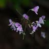Naked Flowered Tick Trefoil