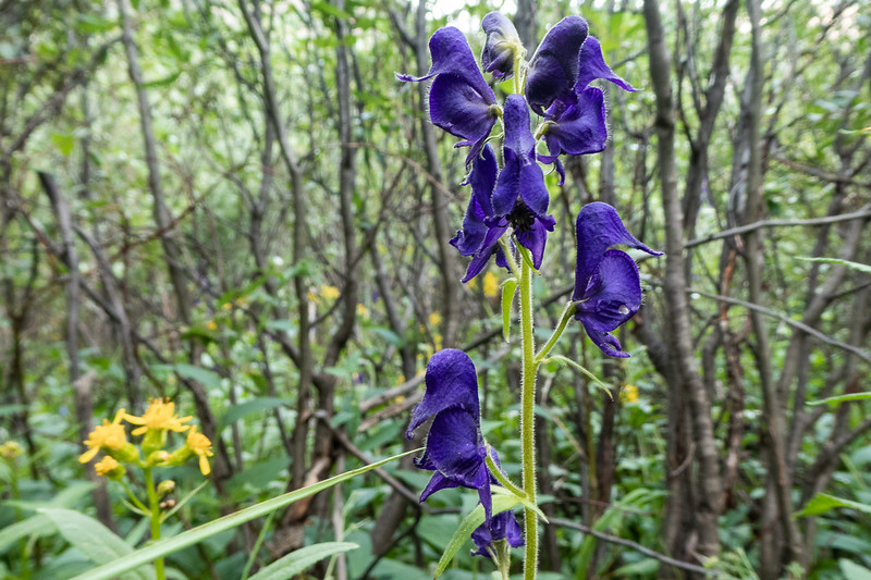 Monkshood Wildflower