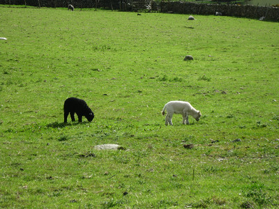Herdwick lambs - the white one's a freak