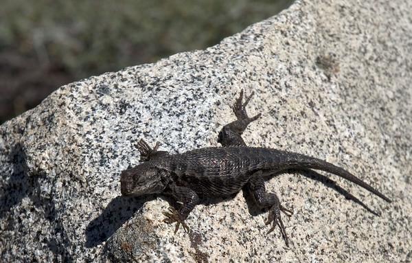 Lizard wishing I would go away.