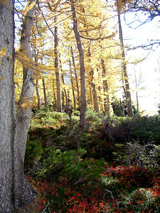 The larches light up.