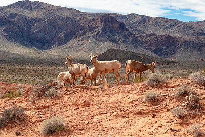 Lots of Desert Bighorn Sheep