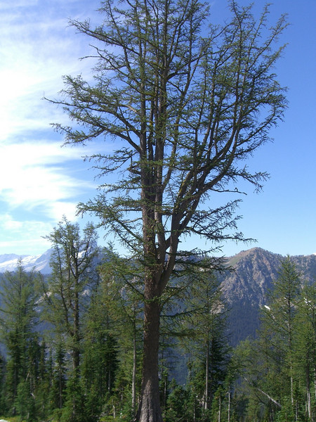 Rather impressive Larch. While many of the fir in the Leroy Basin were suffering from some sort of disease, the Larches seemed to be thriving & doing quite well