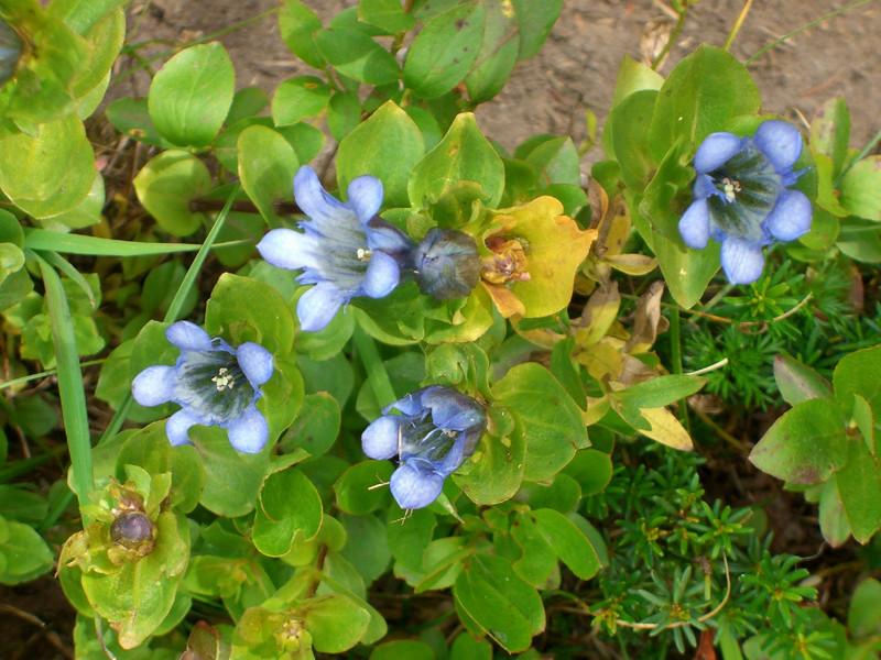 The bloom of Gentian