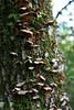 Interesting shelf fungi among the moss.