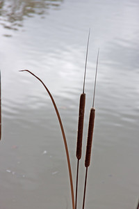 _MG_3345Cattails_hlsh