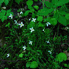 Thyme-leaved Bluets (Houstonia serphyllifolia)