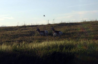 Antelopes, Antelope Island, Salt Lake City