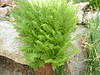 Pretty fern.