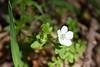 Nimophila Heterophylla (Variableleaf Nemophila). A native annual.