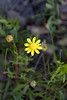 Yellow flower with white dots--I know I've seen these in past years--