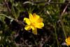 California Buttercup. A native perennial. Ranunculus Californicus