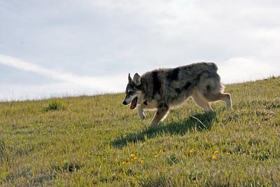Tika runs in the fields.