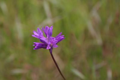 Blue dicks, a California native wildflower. (http://en.wikipedia.org/wiki/Dichelostemma_capitatum)