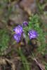 "Ithuriel's Spear, a California native wildflower.  <a href=""http://en.wikipedia.org/wiki/Triteleia_laxa"">http://en.wikipedia.org/wiki/Triteleia_laxa</a>)"