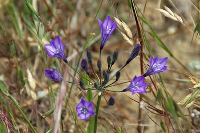 Ithuriel's Spear, a California native wildflower. (http://en.wikipedia.org/wiki/Triteleia_laxa)