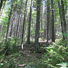 I encountered this superb stand of spruce forest.  Very easy terrain to traverse and gorgeous to behold.