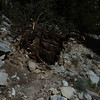 Stump/roots