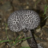 Boletaceae - <br /> Strobilomyces  - Old Man of the Woods
