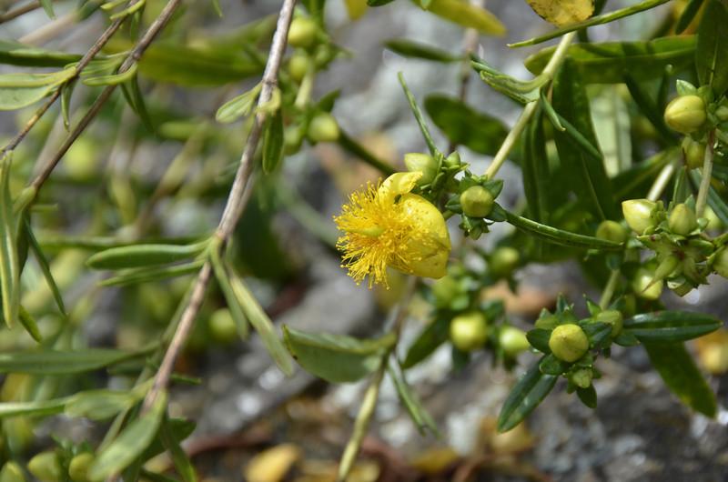Hypericaceae - <br /> Hypericum prolificum - Shrubby St.-John's-wort