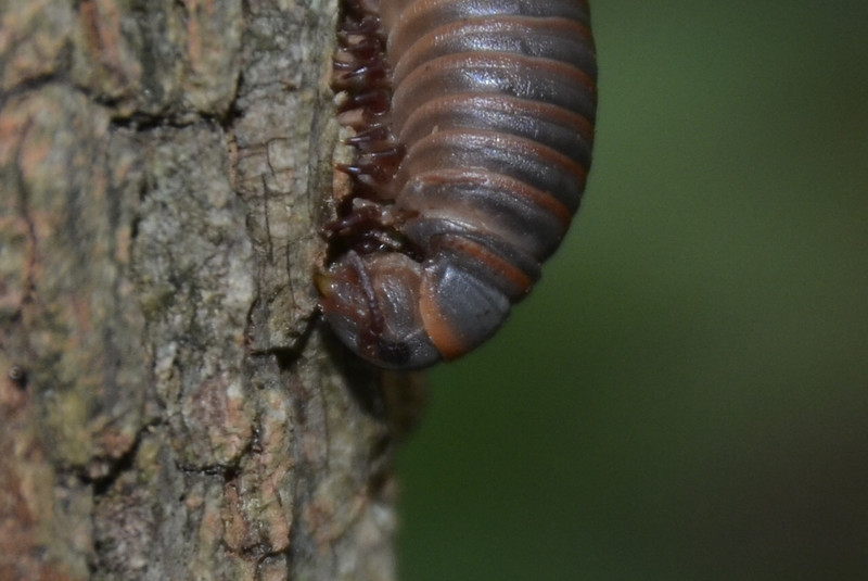Narceus americanus - North American Millipede