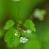 Thalictrum clavatum -  Mountain meadow-rue