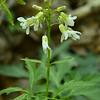 Brassicaceae - <br /> Cardamine concatenata - Cut-Leaved Toothwort