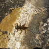 Plecoptera - Stonefly Nymph