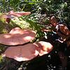 Ganoderma tsugae - Hemlock varnish shelf