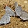 Polyommatus icarus - Common Blue