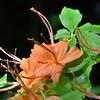 Rhododendron calendulaceum - Flame Azalea