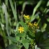 Hypericaceae - <br /> Hypericum - St. John's Wort