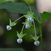 Apocynaceae - <br /> Asclepias exaltata L. - Poke Milkweed