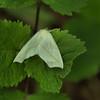 Tetracis cachexiata - White Slant-line, White Slaut