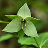 Trillium simile - Jeweled wakerobin