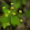Apiaceae - <br /> Thaspium barbinode - Meadow Parsnip