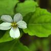 Violaceae - <br /> Viola