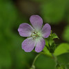 Geraniaceae - <br /> Geranium maculatum - Wild Geranium