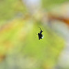 Micrathena gracilis - Kite Spider