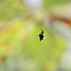 Micrathena gracilis - Kite Spider