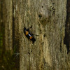 Erotylidae - <br /> Megalodacne fasciata - Red-banded Fungus Beetle<br /> This beetle has the batman emblem on it. :-)