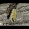 Acronicta americana - American Dagger Moth caterpillar
