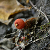 Calostoma Cinnabarinum - Red Aspic-Puffball
