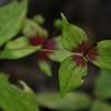 Medeola virginiana - Indian Cucumber-root