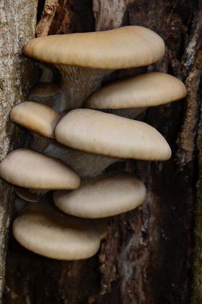 Pleurotus ostreatus - Oyster Mustrooms