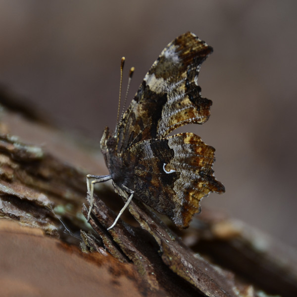 Polygonia comma - Eastern Comma