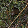 Desmognathus quadramaculatus - Blackbelly Salamander