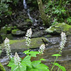 Saxifragaceae - <br /> Tiarella cordifolia - Foamflower