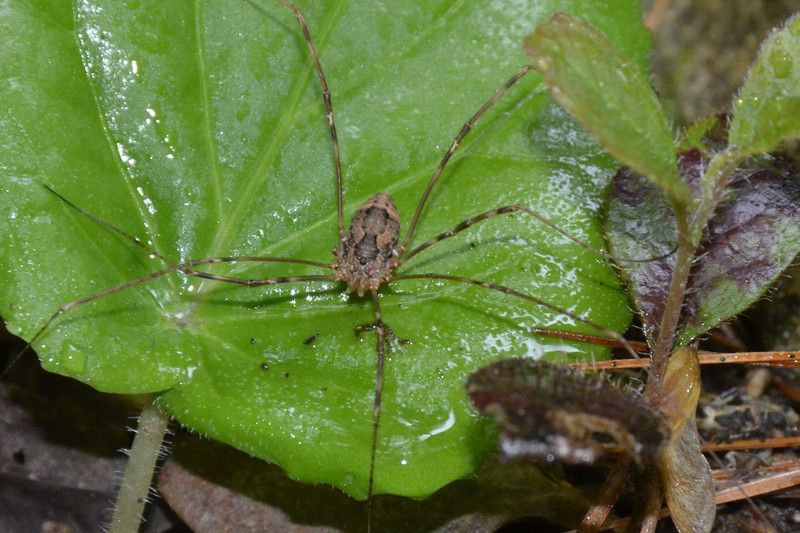 Opiliones - Harvestmen<br /> I love the pattern on his back